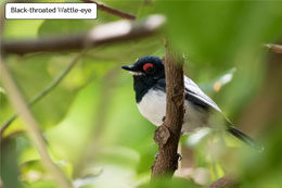 Black-throated Wattle-Eye
