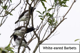 White-eared Barbet
