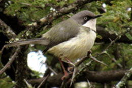 Bar-throated Apalis by Anokha van Manen