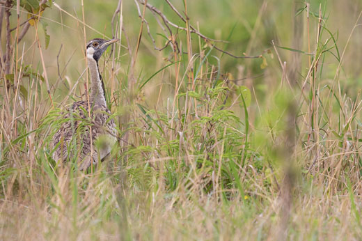 Black-bellied Bustard