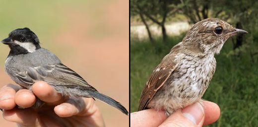 Ashy Tit (left) and the juvenile Marico Flycatcher(right) that caused quite a stir of pages in the field guides.