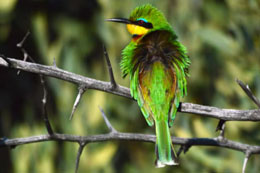 A very obliging Little Bee-eater. by Mark Friskin