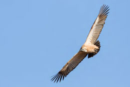 A soaring Cape Vulture at the Mockford Vulture Restaurant.