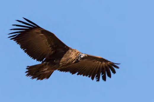 A special for the Polokwane area - Hooded Vulture.