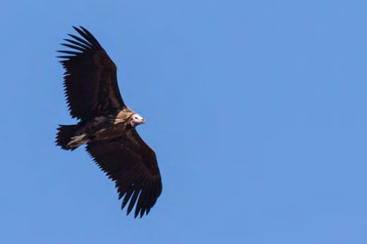 Always a joy to see - Lappet-faced Vulture.