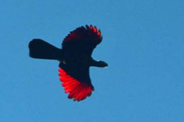 The brilliant red of a Knysna Turaco in flight is always awe inspiring.