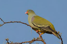 African Green Pigeon was the 'Guest of Honour' at Spring Ring 2017