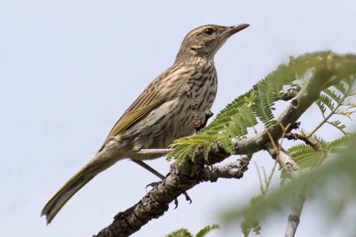 The enigmatic Striped Pipit - one of the target species of day - posed beautifully for us.