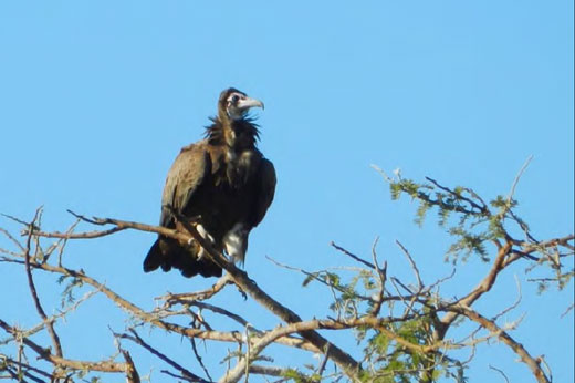 Hooded Vulture at Mockford Farm. Photo by Richter Van Tonder