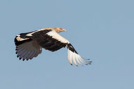 Palm-nut Vulture at Mockford Farm – one of the highlights of the day. Photo by Jody De Bruyn