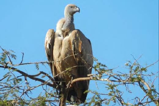 Cape Vulture. Photo by Richter Van Tonder