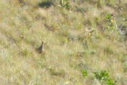 Red-winged Francolin – one of the highlights of the day.